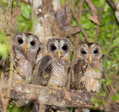 Three African Woodowls Stock Photos