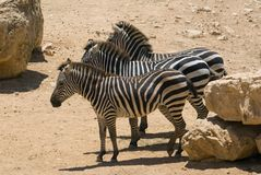 Three african zebras Royalty Free Stock Photos