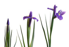 Three ages of iris. On pure white background Stock Photos