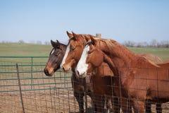 Three alert horses. Horizontal image of three alert quarter horses in a pen in Kansas Stock Photo