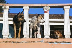 Three Alert Watch Dogs on Porch Lookout Stock Photography
