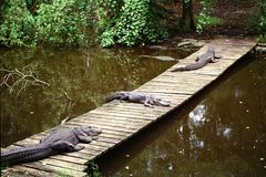 Three aligators laying on bridge. Three aligators laying on a wooden bridge Royalty Free Stock Image