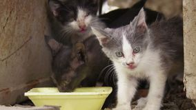 Three alley kittens lap up water from yellow bowl outdoors. stock footage