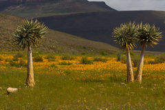 Three Aloe trees with orange daisies Royalty Free Stock Image