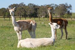 Three alpacas. Two standing behind a third in a field Royalty Free Stock Photos