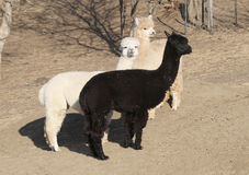 Three alpacas  on bare ground Royalty Free Stock Photo