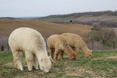 Three alpacas Royalty Free Stock Images