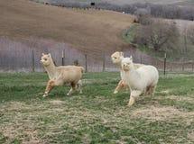 Three alpacas running Stock Photo
