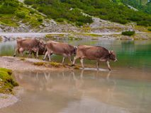 Three alpine cows standing in the lake Royalty Free Stock Photo