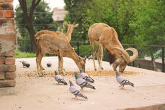 Three Alpine ibex eating food Royalty Free Stock Photos