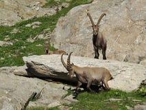 Three alpine ibex Stock Images