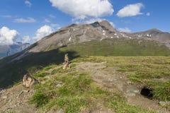 Three alpine marmots - High Tauern, Austria Stock Photography
