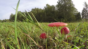 Three Amanita muscaria fly agarics growing in field, time lapse 4K stock video