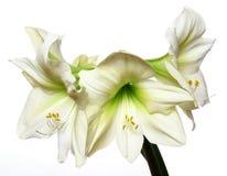 Three Amaryllis Flowers Isolated Royalty Free Stock Photography