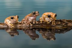 Three Amazon milk frogs on a log Royalty Free Stock Images