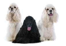 Three american cocker spaniel Stock Photography