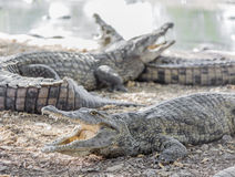Three American crocodile Royalty Free Stock Photography