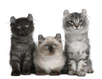 Three American Curl Kittens, 3 months old Royalty Free Stock Photography