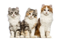 Three American Curl kittens, 3 months old, sitting and looking at the camera. In front of white background stock photos