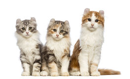 Three American Curl kittens, 3 months old, sitting and looking at the camera Royalty Free Stock Photo