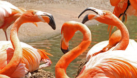 Three American Flamingos Stock Images