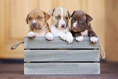 Three american pit bull terrier puppies in a wooden box. American pit bull terrier puppies outdoors Stock Photo
