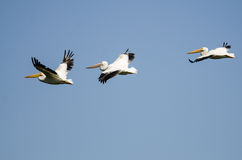 Three American White Pelicans Flying in a Blue Sky. Three American White Pelicans Flying in a Clear Blue Sky Royalty Free Stock Photography