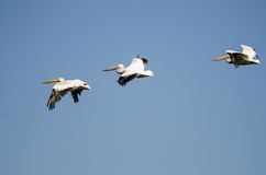 Three American White Pelicans Flying in a Blue Sky. Three American White Pelicans Flying in a Clear Blue Sky Stock Photo