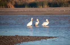 Three American White Pelicans in the Santa Clara river at McGrath State Park on the Pacific coast at Ventura California USA. Three American White Pelicans in the royalty free stock photography