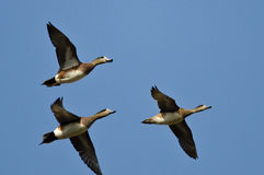 Three American Wigeons Flying in a Blue Sky Stock Image