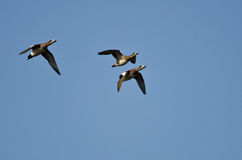 Three American Wigeons Flying in a Blue Sky Royalty Free Stock Images