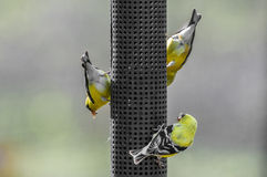 Three american yellow finch Stock Images
