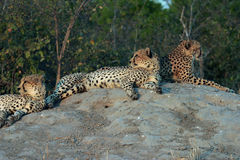 The three amigos. Well known youthful Cheetah brothers lazing around with full bellies after a kill off the Duma Tau bush camp in Botswana, Africa Royalty Free Stock Image