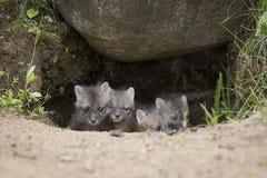 Three Amigos. Three baby grey fox kits looking out of den Royalty Free Stock Photos
