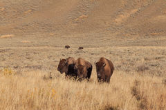 Three Amigos  Bison Stock Images