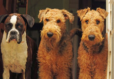 The three amigos-different breed dogs,best friends. A funny and comical portrait of three family pet dogs. Two purebred Airedale Terriers and a pure breed Boxer Royalty Free Stock Images
