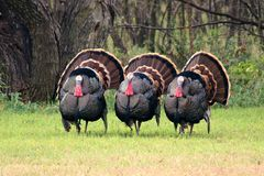 The three amigos. Three male Rio grande wild turkeys meleagris gallopavo intermediate, in full mating display, standing in a row. Green foliage, brush and woods royalty free stock photos