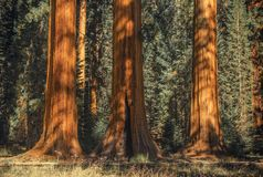 Three Ancient Sequoias Royalty Free Stock Photography