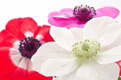 Three anemone flowers Stock Photo