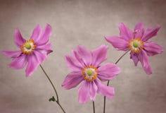 Three Anemone Flowers Royalty Free Stock Photos