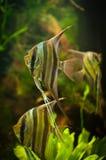 Three angel fish swimming slowly. In green aquarium water stock images