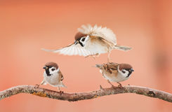 Three angry birds arguing on a branch in Sunny day. Three little angry birds arguing on a branch in Sunny day royalty free stock photo