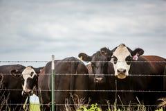 Three angus cows Royalty Free Stock Photo