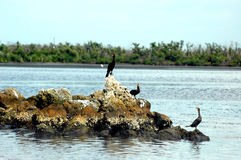 Three anhinga birds. Sit on the rocks in the ocean royalty free stock photo