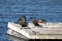 Three Anhinga and a Turtle on a Raft royalty free stock photography