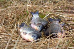 Three animals carp fishing catch on the grass. Stock Images