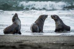 Three Antarctic fur seals with surf behind Royalty Free Stock Photos
