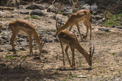 Three antelope Impala in Tanzania Royalty Free Stock Image