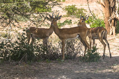 Three antelope Impala in Tanzania Stock Images