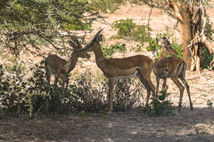 Three antelope Impala in Tanzania Royalty Free Stock Images